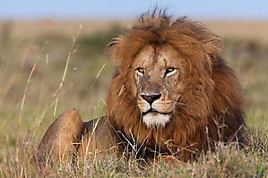 Lion - Panthera leo