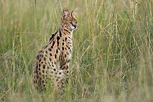 Le serval - Leptailurus serval