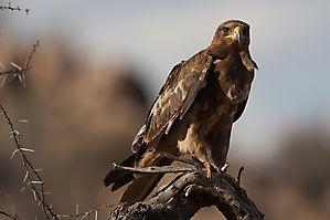 L'aigle ravisseur