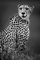 L'animalier en noir et blanc